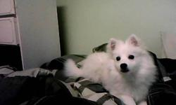 Purebred male miniature American Eskimo for sale. House-trained, crate-trained, neutered, gets along with other pets. $400 OBO. Contact faith at 705-590-2928 for more details.
