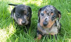 These two beautiful female Mini Doxie pups will soon be ready for their new forever homes.  Tiny and sweet, they are happy playful pups well on the way to to being house trained.  Both parents are wonderful pets and mom is happy to meet you.  I am placing