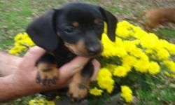 Now available for their new family!!! 2 beautiful black & tan pups (1 male &1 female).Vet checked ,dewormed and first shots.All they need is LOVE! A very comical breed that likes to play outside or snuggle on your lap.Pups are using training pads and