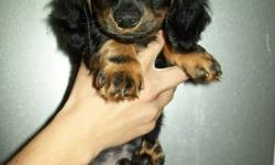 I have Miniature Dachshund puppies for sale!! They come from a litter of 7 and there are 4 left looking for good homes. They have been raised in my home and are very well mannered and are great with cats and small children. The parents are between
