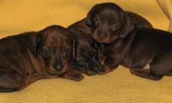 We'll have 3 gorgeous purebred miniature dachshunds available on December 15th.   Dark chocolate and tan female $850 Brindle male $700 Brindle female $700   These puppies will come with their first sets of vaccinations, 4 sets of deworming, health