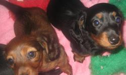 Purebred CKC Reg'd Miniature Long-haired Dachshund puppies of European Champion Bloodline for sale. Two males: red and black&tan.   Beautiful, smart, and affectionate. First vaccines and microchipped.