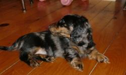 Vet-checked, first needles, well socialized, paper trained miniature long-haired dachshund.................. ready for a loving home Mother is registered, father is purebred