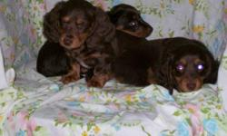 Long Haired Miniature Dachshunds in unusual colours One Male Chocolate Fringed Red. $450 One Male Chocolate Dapple. $450. Last two pictures are of Mom. (Sorry about the red eye!) All have up to date shots and have Been De wormed regularly up to the