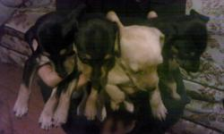 Three min pin puppies. 2 female, 1 male. All black and rust. Tails docked and dew claws done. Available now. Eating puppy food and doing well with pad training. $350 each. Also 1 male 16 month old Min pin. Black and rust. Tail left natural, all shots up