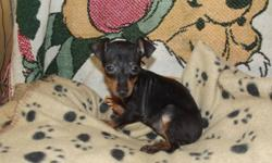 For sale 3 male min pin pups. They are not registered but are pure min pin. Their tails & dewclaws are done, first shots & dewormrd. There are 2 b/t and 1 chocolate/tan. I will be travelling to Quesnel at the end of January & can bring with me at no extra