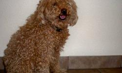 Are you still looking for a child friendly, lovable dog that will warm up your home? For sale are some very cute and friendly Miniature Poodle Pups. They are a great late Christmas gift to your loved ones.The mother of the Puppies is registered, and the