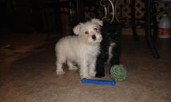 Beautiful Unique little Mini Schnauzers . Intelligent , alert , loyal and loving breed . They are a hypo-allergenic , non shedding breed .  Easy to train and eager to please . Great family dog for the active family .  These puppies have been house raised