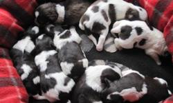 Claire and Cash keep on surprising us with their brightly coloured chocolate and white parti puppies.  Look at the coat patterns of these little beauties ? just outstanding.   There are 3 females and 4 males left.  Their maturity weights will vary ? from