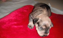 Miniature schnauzers puppies will be ready to go the 1st of February. Only one male and maybe one female not spoken for. Mother and father can both be seen on sight. I will continue to post pictures as they grow. Puppies have been wormed once and will be