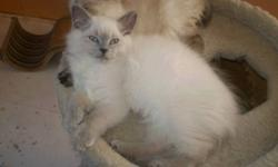 Didn't get that Puuurrfect Chrismas gift? Wait no longer! Ready to go now. Only 3 left: registered blue point Himalayan kittens. They are on hard food and litter trained already. They all have beautiful thick fur and gorgeous blue eyes. Very much people