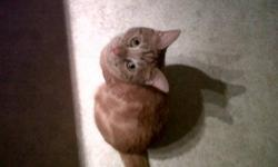 """Lost male 1 1/2 yr old declawed (front) neutered small orange and white tabby cat. He has white marking on his left side looks like the word """"NO"""".  Answers to Toby.  Lost in the Lansdowne/Devonshire Area of Woodstock on Sat. Oct. 22/11 He is VERY missed!"""