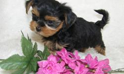 Five absolutely adorable Maltese X Yorkshire Terrier babies! These adorable babies have a 6lb Mom who is a fabulous, happy, outgoing Yorkshire Terrier, and a 5llb Dad who is a cuddly, affectionate Morkie (Maltese X Yorkie). Making these adorable little