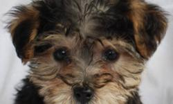 MORKIE  FEMALES Available TODAY at 12 Weeks of Age (seen below at 8 weeks of age)  Black and Tan available Beautiful Family Friends Waiting For You Today Are you looking for a great family companion that will be non-shedding, lap size, hypoallergenic and
