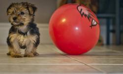 The Morkie is a hybrid of the Maltese and the Yorkshire Terrier. ,,Buddy,, a little boy is very friendly and happy puppy. His weight can ranges from 6-8 lbs as adult. He is non-shedding and hypoallergenic. We bought him from registered breeder but