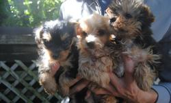 2 MONTHS OLD TOY SIZE MORKIE PUPS ( MALTESE X YORKIE ) 3 BOYS  IN A LITTER, MAATURE TO 5-7 LBS NON-SHEDDING, HYPOALLERGENIC 1 GOLDEN MALE (MIDDLE) -- AVAILABLE FOR $480 1 BLACK AND TAN MALE (LEFT)-- AVAILABLE FOR $480 1 BLACK AND TAN MALE (RIGHT) -- SOLD
