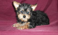 we have 2 of the most adorable little lap dogs that are finally ready to begin the next adventure in their young lives. pups are 3/4 yorkie and 1/4 maltese. they have been to the vet for their 1st shots with several dewormings complete. 1 girl 1 boy born