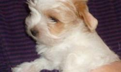 Fun loving gentle breed looking for a home. MORKIES 1 Tiny pup (boy) available Home raised on Orijen puppy food, Let us know if interested . Email a phone number and we would be happy to contact you