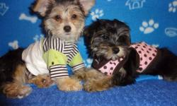 Here is the perfect christmas gift morkies, male and female available to go, 5-6 adult size, tiny toy puppies. First and second set of shots, all up-to-date therefore 200$ less to pay on shots, they are non shedding and hypoallergenic, playful and very
