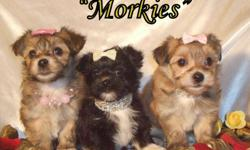 Only 1beautiful Morkie female available. She is carmel cream in color with white accents. These pups are non-shedding and hypo-allergenic. They should reach a mature weight of 5-6 pounds. They are very loving and have playful personalities. Vet check,