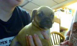 OUR FINAL LITTER OF PUGGLE PUPPIES ARE NOW 5 1/2 WKS OLD AND WANTING TO MEET THEIR FOREVER FAMILIES.  WE HAVE 5 BOYS AND 2 GIRLS LEFT.  READY TO GO OCT. 20TH.   PUPPIES COME WITH 1ST SHOTS, DEWORMED, VET CHECKED, NAILS TRIMMED AND A PUPPY PACK.  PUGGLES