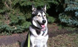 I am a beautiful female Husky/Shep (5yrs) in need of a loving forever home like the foster home I'm in now. I need a home that will support my love of the outdoors and supply an endless amount of love. Sadly, my original owners new residence did not