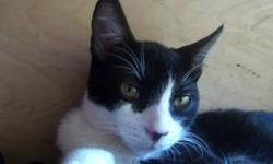 Mr.Whiskers is a male tuxeto cat. He is going to be getting neutered on the 25th (its a must). Mr.Whiskers has bright golden eyes. He is in a foster home with a dog and adjusted very quickly. He loves to be around people. He is an indoor and outdoor cat.