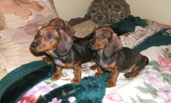 $400 or best offer! We have 2 purebred Dachshund puppies  left from a litter of 7 (1 girl, 1 boy). They are vet checked, de-wormed and have had first and second shots. Mom and Dad are shown, Mom is first generation from Germany with papers, and Dad is