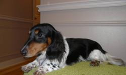 Bentley is a black & tan piebald long hair dachshund. He has an excellent personality, is house trained and plays well with other dogs. He is intact, and both his parents (both registered) live on site. He was placed with a family member for