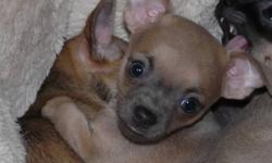 Available 1 female and 2 male Chihuahua pups who are more than eager to curl up with you on a chilly night. They are raised under foot in our home and come preloved and spoiled. Both parents are registered but pups sold as pets. They are black & tan or