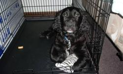 Hi  Im selling a springer spaniel , cant keep him , need a new home, he has his first shots and dewormed, very playful and a great dog with kids , hoping to find a home for him soon....If you interested you can contact me at 403 363 9480