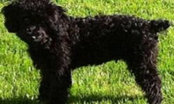 Charlie is waiting for his forever home, he is 2 1/2 years, miniature black poodle, Neutered and tattooed. I'm needing a home where i'll get lots of attention and love:) I love children and other animals, I need a new home because my owners are gone lots