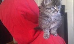 5 tabby kittens all litter trained and eating on their own! All fluffy.and needing a good home! I also have Orange tabby and multi that can go Sept 28th!