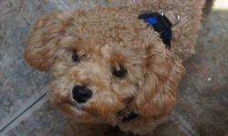Cute toy poodle for sale. Our 2-year-old son is too aggressive with the puppy and we aren't able to give him the attention he deserves. Has all of his needles except for one and is pad-trained. He is 6.5 lbs and 11 months old and very cuddly. His name is