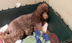 Purebred Standard poodle puppies born on January 2nd. Both parents are AKC & CKC, this will be our last litter. Puppies will be be raised in family environment with children, cat and other dogs. All puppies come with micro-chip, dewormed, vaccinations,