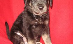 6 Hand raised ¾ Lab, ¼ Newfoundlander puppies, Great temperments, very social and great with small children and cats. We have been working on outside training already, and some basic commands. Must be willing to give a forever home.   puppies had just had