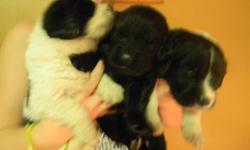 Only 3 Females left 2 landseers and 1 black Girl Puppies are 3 weeks old Ready to go Jan 21st/2012 Mom and Dad on site Mom is a Landseer 120 pounds Dad is Black 165 pounds Puppies are home raised in our home not in a kennel or a barn. Puppies will be