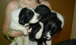 Only 2 Females left 2 landseers Puppies are 4 weeks old Ready to go Jan 21st/2012 Mom and Dad on site Mom is a Landseer 120 pounds Dad is Black 165 pounds Puppies are home raised in our home not in a kennel or a barn. Puppies will be going home with vet