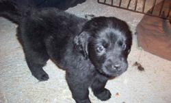 For sale 2 newfoundland dog puppies,2 females.Born november 18 2011.puppies have been vet checked and have had thier first shots.Parents on site for viewing.Pups are ready to go to thier new homes.please call (709)834-0057 or 709 728-0212for further