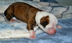 Brindle and white and Red and white pups! www.wunderbaramericanbulldogs.blogspot.com Puppies are all raised in my home, with lots of socialization to people (children and adults) and dogs alike. They are NKC registered and they will also come