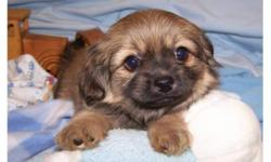 These little guys will be a great addition to your family!  Their mommy is Maltese and daddy is Pekingese, so babies have the beautiful eyes and black masks.  They have gorgeous non shedding haircoats .Our puppies have their first set of shots and been