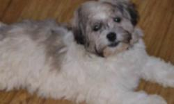 We have some very cute Havanese puppies available to good homes. 2 Boys and one girl. They are a part of our family, living in the house. We have kids that pick them up and play with them constantly throughout the day. They are started on their