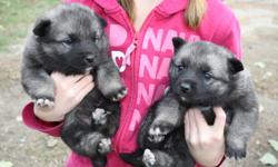 Norwegian elkhound puppies.  gorgeous, fluffy little guys.  Absolutely adorable.  Excellent for keeping undesired critters out of your yard.  Great family dogs, very friendly.  Are you worried about getting a puppy so late in the year?  these guys love