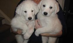 Father is a Smooth Coat Maremma/Kuvas..Approx 120lbs.  Mother is Great Pyreneese...Approx 70lbs.  (3rd Pic) Boys and Girls Available:) (2 Girls and 7 boys remaining) We live on an acerage and have small children.  These are wonderful protection breeds and