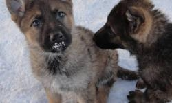Absolutely stunning Dark Sables, From  Czech and DDR bloodline. This pedigree is loaded with world famouse working line dogs. Only two females left. And one male(pending).   Don't miss out on these incredible puppies   A German shepherd can smell somebody