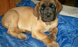Ridgeport Mastiffs goal is to produce and provide you the buyer with a top quality pup for you and your family to enjoy for many years to come. Both our males and females come with the best of pedigrees. All our pups are sold with registration papers and