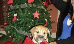 Bulldog puppy for sale. Just in time for christmas. 1300.00 obo Do not email. Please call Doug for more info.