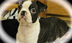 I have one loveable male boston terrier. He is a brindle from my beautiful brindle female Paris she weighs 17 lbs the sire is our handsome male Gambit who weighs 22 lbs. He has received his 3rd vaccination and been de-wormed. Raised in a family of