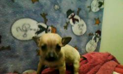 Hello, My name is Julie. I'm a nine week old baby girl. Im playful and fun and i love to snuggle and be loved. I dont whine much, but i am rather shy at first. I have a nervous shake like my mommy and siblings do, but apparently most Chihuahua's do. Im
