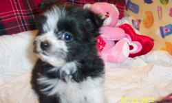 """FLASH"" is lonely,now his sister has been adopted. Tiny Pomeranian/Shih-Tzu male pup. Born 29th November 2011. Black with White points. Looks like a tiny ruff coated Border Collie. Vet.checked. Healthy. 1st vaccination and d-wormed."